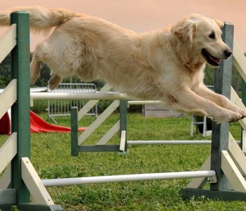 formation agility et sports canins